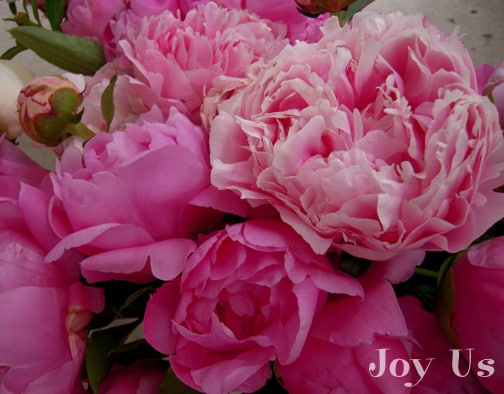 Fully grown peony buds and Peonies bloom in the late spring.