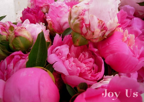 Grown Peonies buds and outrageously beautiful in Peony blossoms.
