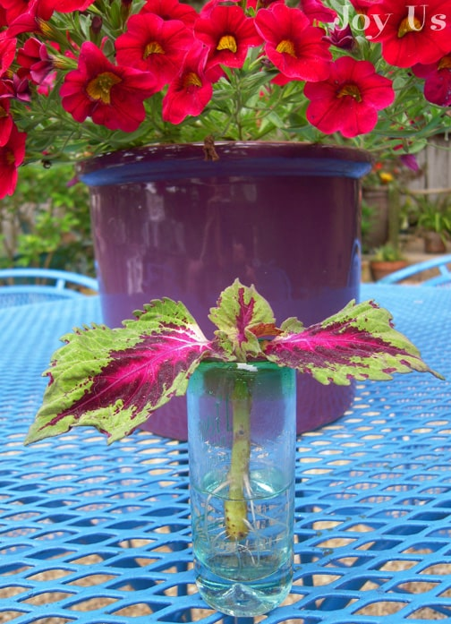 Coleus placed in a small container.