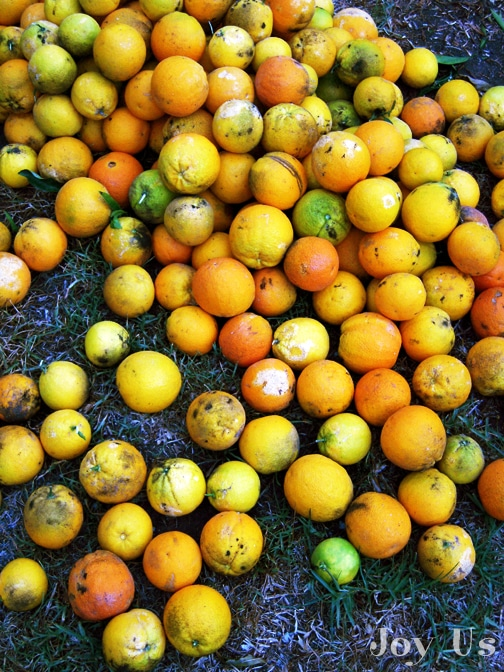 orange tree infested