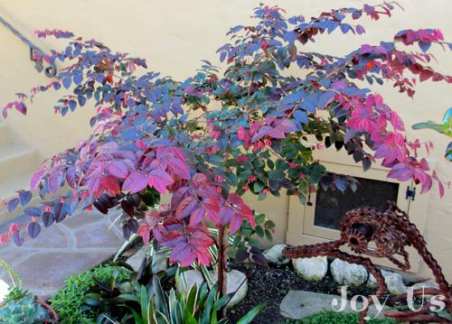 Pruning Loropetalum Standard