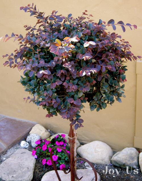 Pruning my loropetalum standard pruning loropetalum standard mightylinksfo
